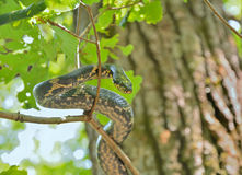 Snake on tree Royalty Free Stock Images