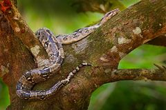 Snake on the tree trunk. Boa constrictor snake in the wild nature, Belize. Wildlife scene from Central America. Boa constrictor, f Royalty Free Stock Image