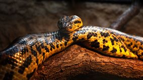 Snake on the tree trunk. Yellow anaconda stays on the tree trunk - Close up animal portrait Stock Image