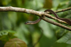 Snake on a tree,wildlife of Thailand Royalty Free Stock Images