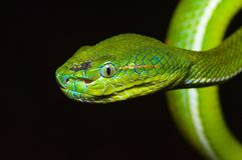 Snake. Tropical green snake stock images