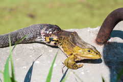 Snake trying to swallow a big green frog Royalty Free Stock Image