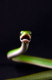 Snake under attack. On black background Stock Photography