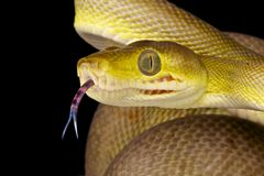 Snake using its tongue / Corallus hortulanus Stock Photo