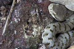 Snake - viper. A small viper under the leaf in an eucalyptus forest Stock Photo