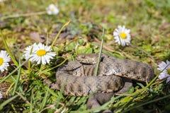 Snake,viper Royalty Free Stock Photos