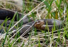 Snake Vipera berus nikolskii in nature Royalty Free Stock Image