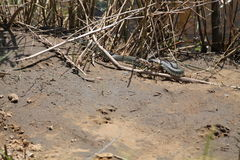 Snake. Vivid adult snake lay on sand on the river bank in warm sunny  spring day Royalty Free Stock Photo