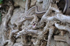 Snake. On the wall with dried ivy Stock Photos