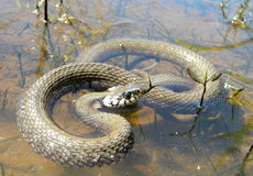 Snake in water. A grass snake in a little water Stock Photo