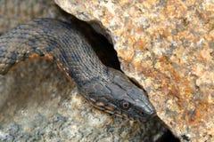Snake water, latin Natrix tessellata Stock Images