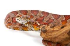 Snake on a white background. Stock Image