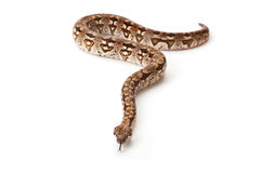 Snake on white background royalty free stock photography