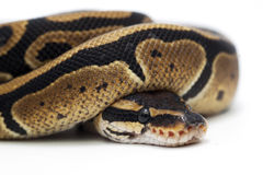 Snake  on white. Ball boa  on white Royalty Free Stock Photo