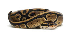 Snake  on white. Ball boa  on white Royalty Free Stock Images