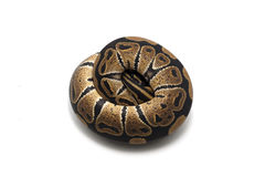 Snake  on white. Ball boa  on white Stock Images