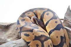 Snake. Stock Photo