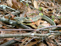 Snake In The Woods. Snake in a wooded area with tongue sticking out Royalty Free Stock Photos