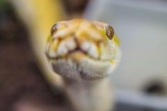 Snake. Royalty Free Stock Photo