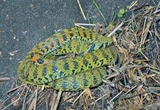 Snake (Rhabdophis tigrina) 17 Stock Image
