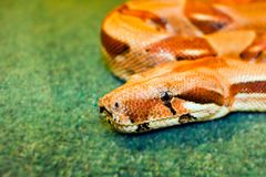 Snake yellow her eye on a green background rolled. Up isognitaya reptile royalty free stock photo