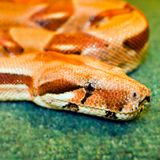 Snake yellow her eye on a green background rolled. Up isognitaya reptile stock images