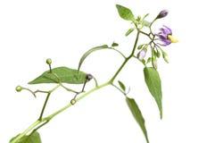 Snakeberry kwiaty Obrazy Stock