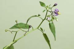Snakeberry kwiaty Zdjęcie Royalty Free