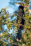 Snakebird Anhinga Στοκ φωτογραφίες με δικαίωμα ελεύθερης χρήσης