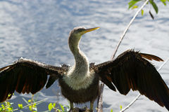 Snakebird, Everglades, Florida, USA Royalty Free Stock Photography