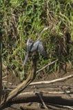 Snakebird at Frio river Royalty Free Stock Photo