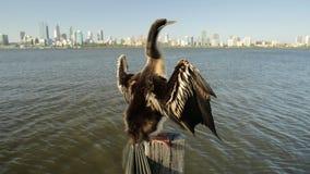 Snakebird z Perth linią horyzontu zdjęcie wideo