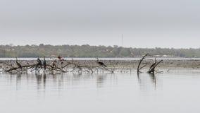 Snakebirds στον ποταμό Στοκ εικόνα με δικαίωμα ελεύθερης χρήσης