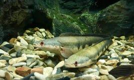Snakefish im Behälter Lizenzfreie Stockbilder