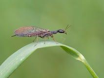 Snakefly (Phaeostigma-notata) lizenzfreie stockfotografie