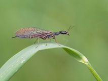 Snakefly (Phaeostigma notata). The large Snakefly (Phaeostigma notata royalty free stock photography