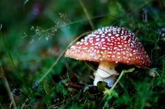 Snakehat mushroom Stock Images