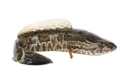 Snakehead Royalty Free Stock Image