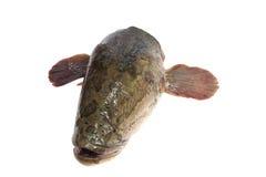 Snakehead is een hevige vis Stock Foto's