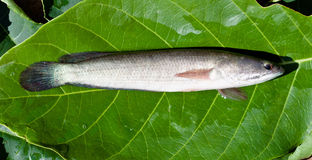 Snakehead fish Royalty Free Stock Image
