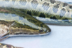 Snakehead fish Royalty Free Stock Photography