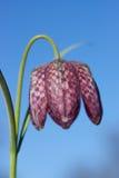 Snakehead Fritillary Arkivbild