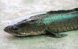 Snakehead ryba na cementowym tle Obrazy Stock