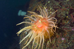 Snakelock Anemone Royalty Free Stock Photos