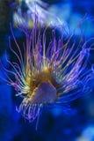 Snakelocks-Seeanemone Anemonia-viridis, ein Marinecoelenterate in einer Gruppe Marine-, räuberischen Tieren von Bestellung Actini lizenzfreie stockfotografie