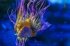 Snakelocks-Seeanemone Anemonia-viridis, ein Marinecoelenterate in einer Gruppe Marine-, räuberischen Tieren von Bestellung Actini lizenzfreie stockfotos
