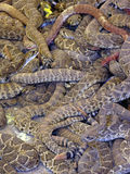 Snakepile. A writhing mass of rattler and coach whip snakes in roundup pen during the spring hunt in Okeene, OK Royalty Free Stock Image