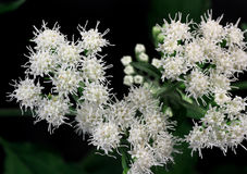 Snakeroot Royalty Free Stock Image