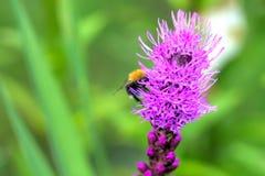 Snakeroot do botão Flor cultivada Foto de Stock Royalty Free
