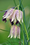 Snakes Head Fritillary Royalty Free Stock Photos